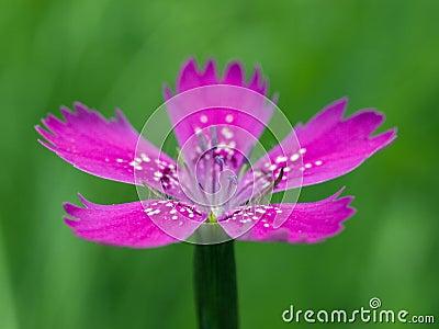 Cloves flower