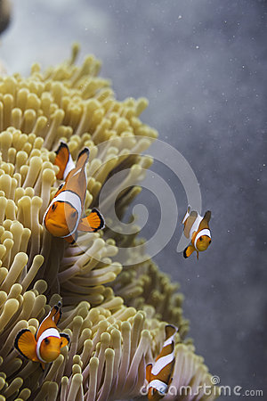 Free Clown Anemonefish (Amphiprion Ocellaris) In Andaman Sea Royalty Free Stock Photography - 36008377