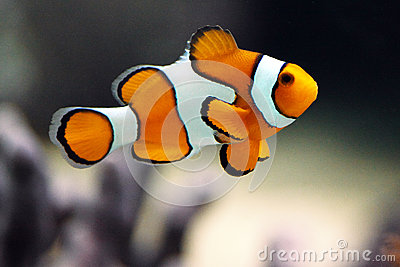 Clown fish or Clown anemonefish - Amphiprion percu