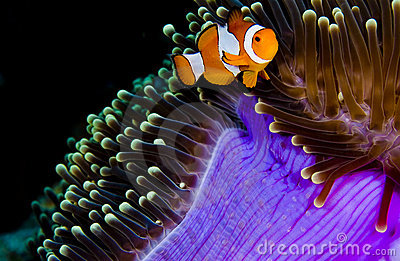 Clown anemonefish hiding in a purple anemone