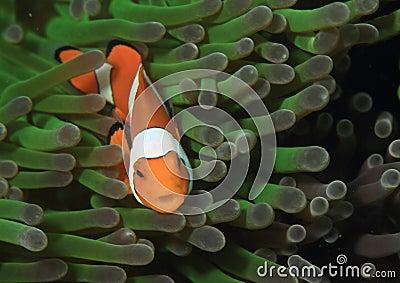 Clown anemonfish