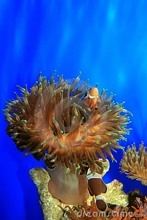 Free Clown-fish Royalty Free Stock Images - 3323249