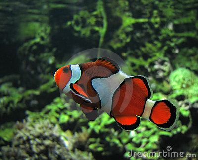 Clown fish amphiprion ocellaris royalty free stock for Clown fish scientific name