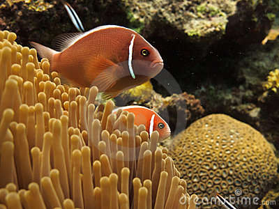 Clown Fish (Amphiprion ocellaris) on GB reef