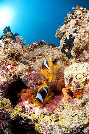 Clown fish and anemone, Red Sea, Egypt
