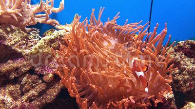 Clown fish and anemone stock video