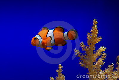 Clown fish in blue ocean