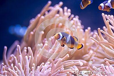 Clownfish Breeding for Beginners