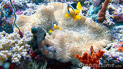 Clown fish - Nemo in the coral reef