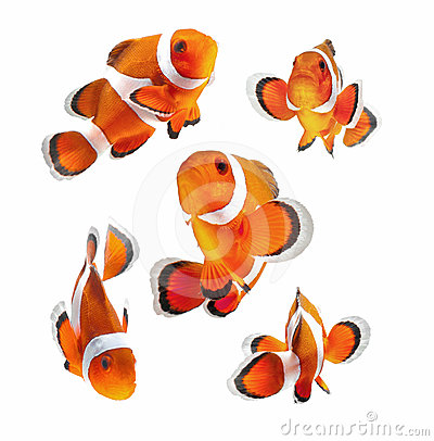 Free Clown Fish Or Anemone Fish Isolated On White Backg Stock Images - 24366464