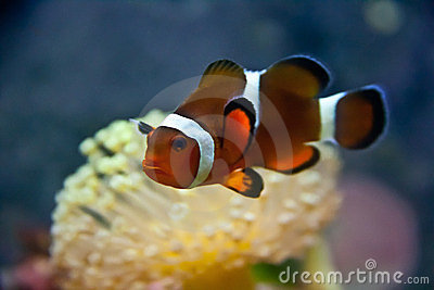Clown Fish with Umbrella Coral