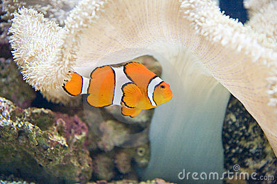 Clown Fish and White Coral