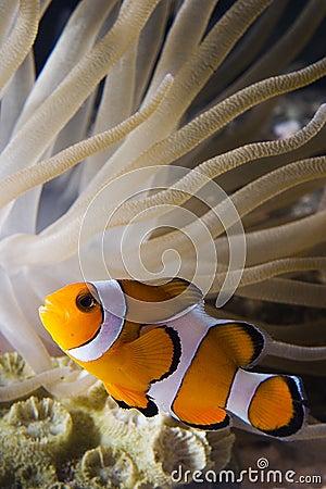 Free Clown Fish2 Stock Photo - 1606610