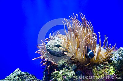 Clown fishes and sea anemone