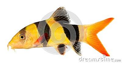 Clown loach fish