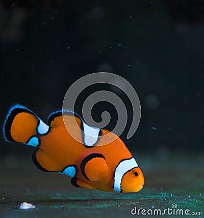 Free Clown Saltwater Fish Stock Image - 3333481