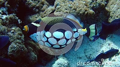 Clown Trigger fish, Kandoludu, Maldives