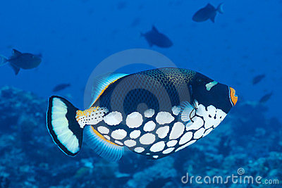 Clown Triggerfish, Maldives