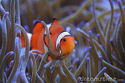 Clownfish Amphiprion percula in host sea anemone