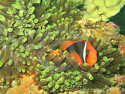 Clownfish in Anemone Coral