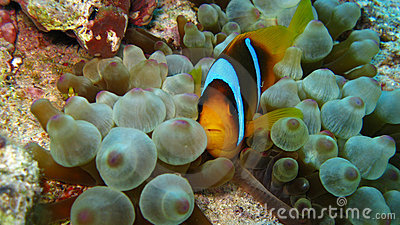Clownfish in bubble anemone