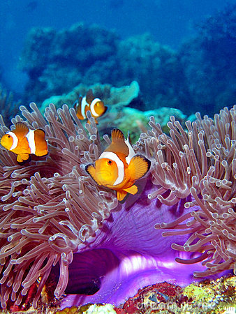 Clownfish Colony