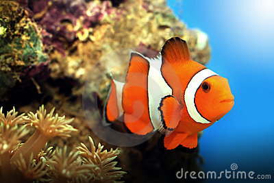 Clownfish and corals