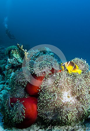 Clownfish with diver