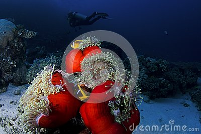 Clownfish and diver