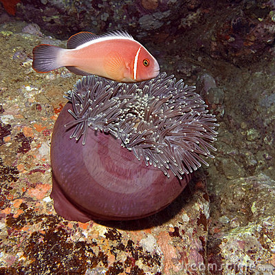 Clownfish and eating Anemone
