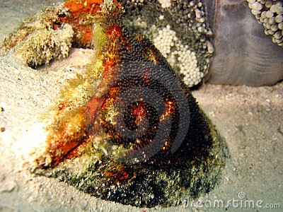 Clownfish Eggs Royalty Free Stock Image - Image: 406066