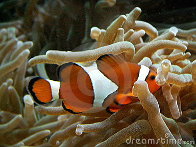 Clownfish hiding