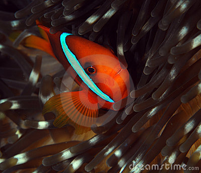 Clownfish and its anemone