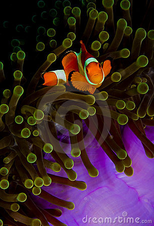 Free Clownfish Looking Into The Camera From Anemone Stock Image - 18243591
