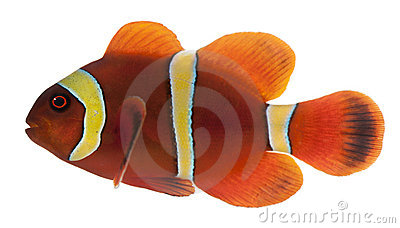 Clownfish marrom, biaculeatus de Premnas