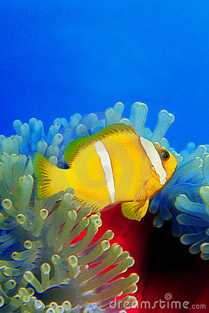 Clownfish over anemoni 0002