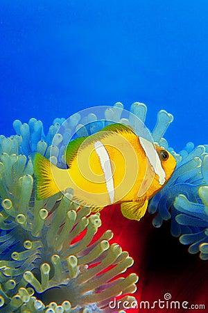 Clownfish over anemoni 0002