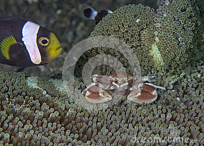 Clownfish protects porcelain crab incubating eggs.