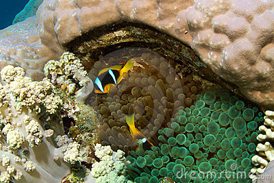 Clownfish in two different anemones