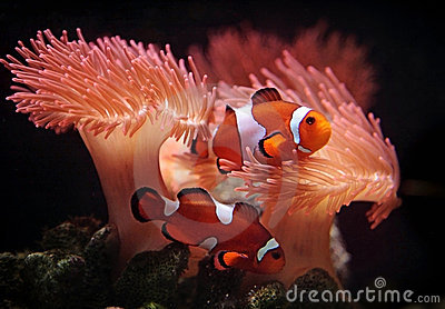Clownfishes Royalty Free Stock Photo - Image: 22997805