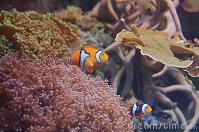 Clownfishes with sea anemone