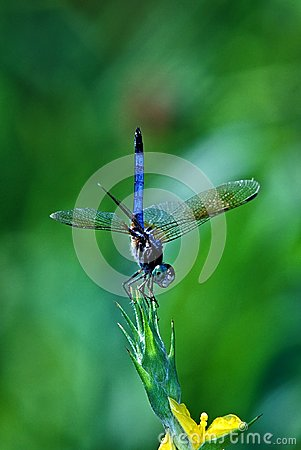 Club Tailed Dragonfly (Gomphidae)