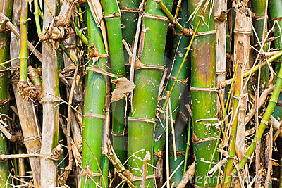 The clump of bamboo