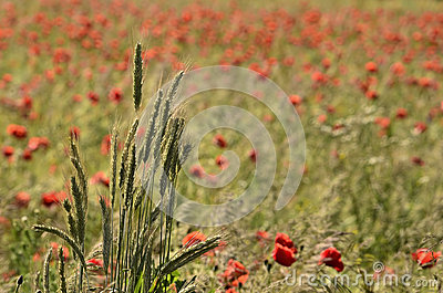 Clump of ears of grain, on a blurred background field of poppies