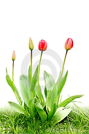 Clump red tulips