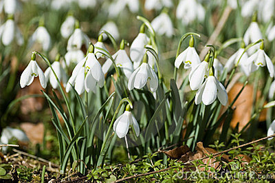 Clump of Snowdrops in Spring