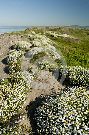 Clumps of  chamomile flowers around the beach