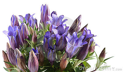 Cluster of Gentiana scabra
