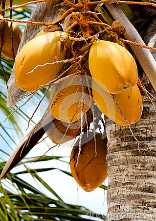 Cluster of golden coconuts on a coconut tree