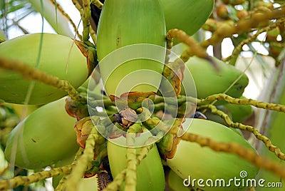 Cluster van groene kokosnoten